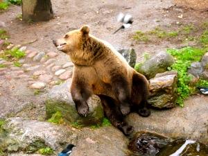 A brown bear at Skansen, a park/zoo in Sweden