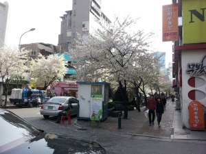 Cherry Blossom in Sinchon, a park in Seoul