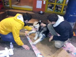 Husky dog we always see when walking around Sinchon.  He is the dog of a local restaurant owner