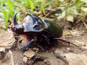 This crazy little guy, fittingly named the Rhino Beetle, also got stuck in the bird net and was a pain to cut out because of all his sharp edges.