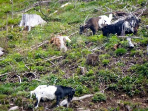 ​Goats greet us as we make our way to the start of the Ravennaschlucht trail.