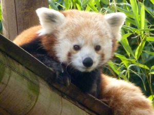 ​Oh my goodness it's a red panda!