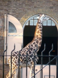 ​Giraffe spotted in London