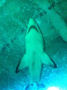 Oliver shark
