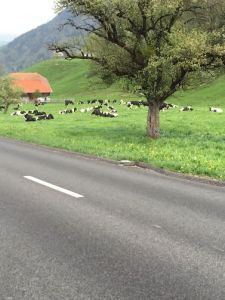 Lots of cows.
