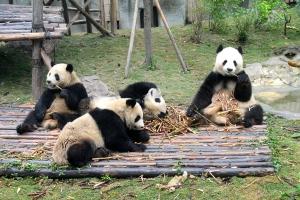 Photo 9 pandas